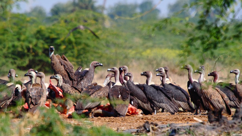 Asian vultures eating a carcass