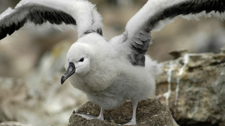 Global Save our Seabirds Appeal - The RSPB