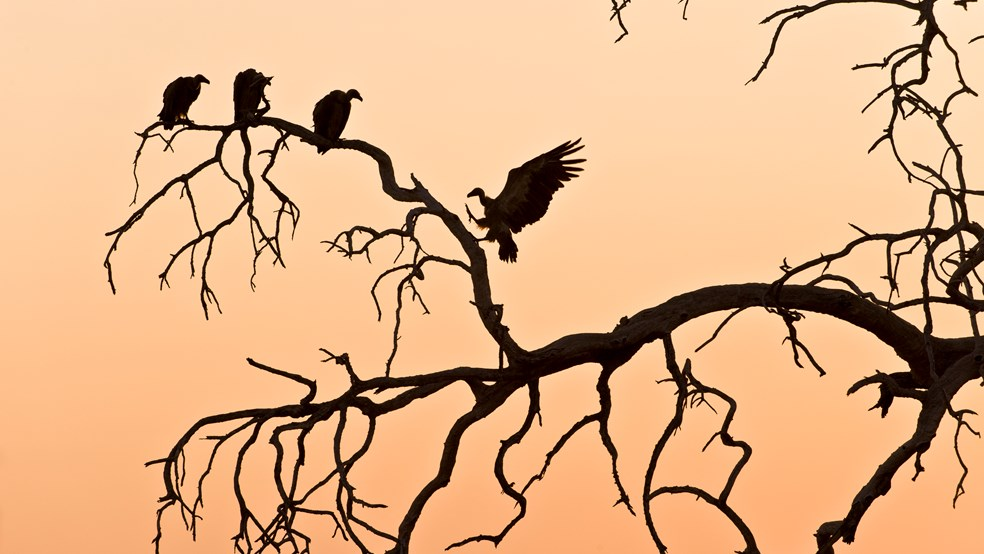 Oriental white-backed vultures at sunrise