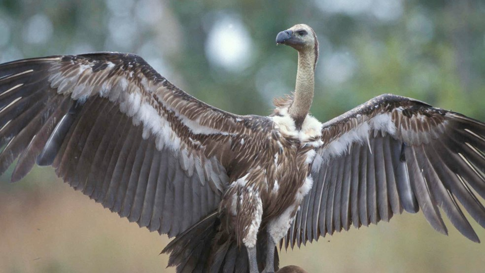 Vulture extending its wings