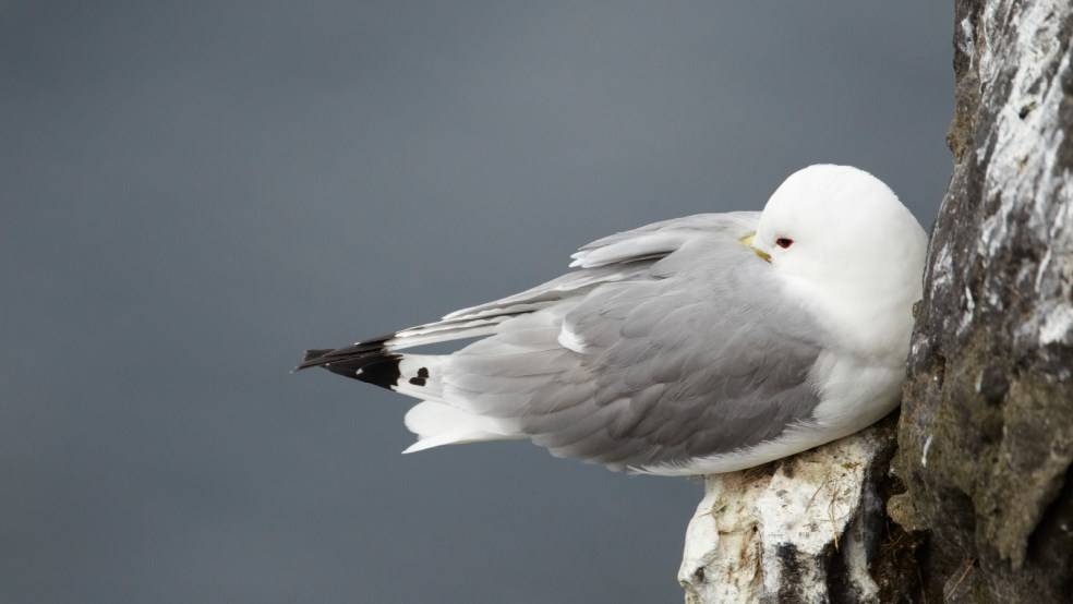 Kittiwake on a cliff