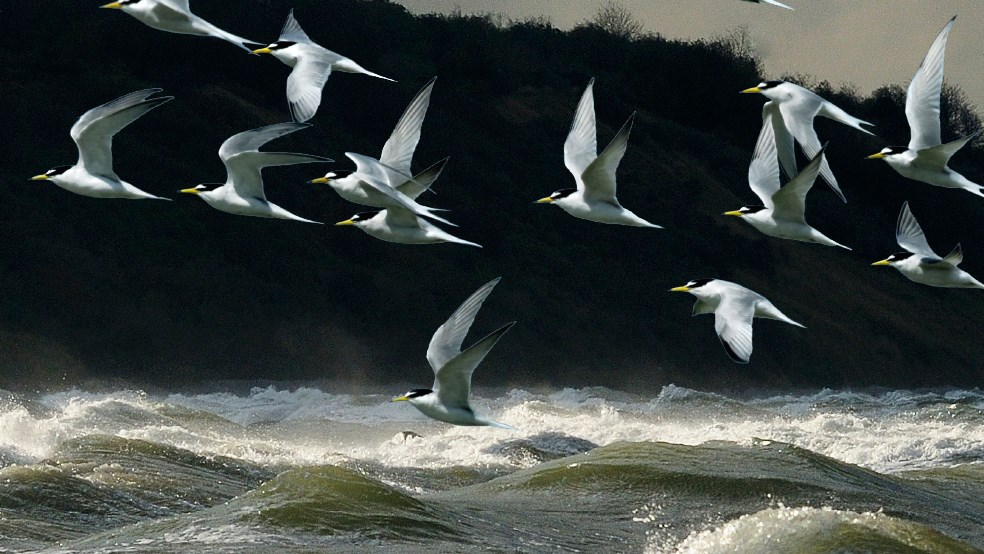 Little terns in a flock