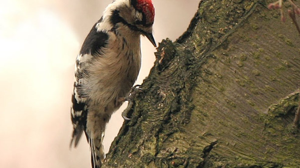 Male lesser-spotted woodpecker