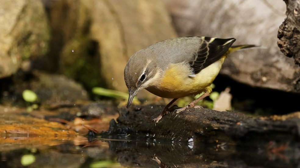 Grey wagtail by James Glover