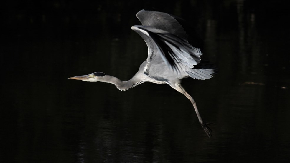 Heron by Andrew Lovell