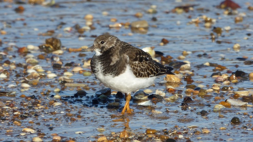 Turnstone by Gill Parker