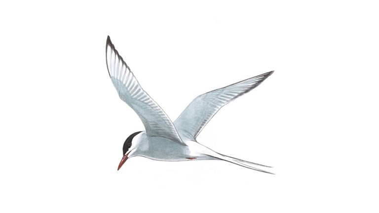 Arctic tern in flight (adult)