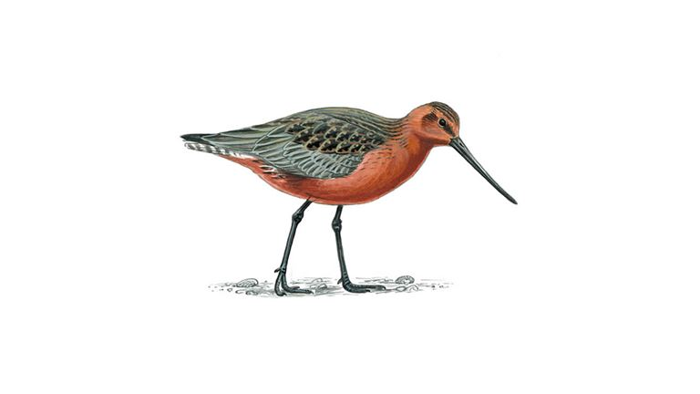 Bar-tailed godwit (male/summer plumage)