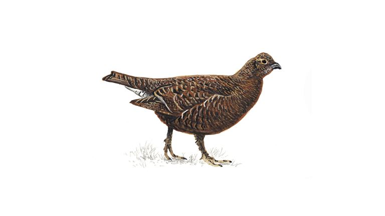 Black grouse (female)