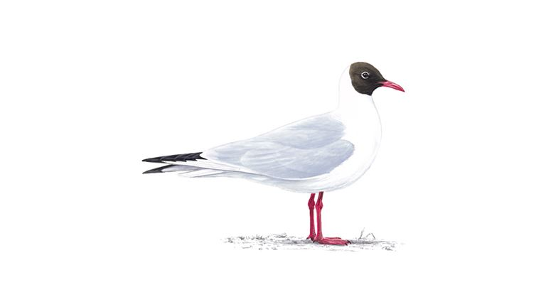 Black-headed gull (summer plumage)