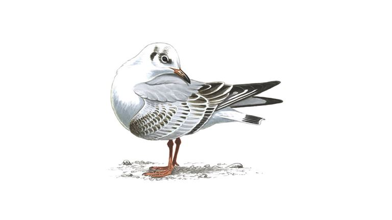 Black-headed gull (first-winter plumage)