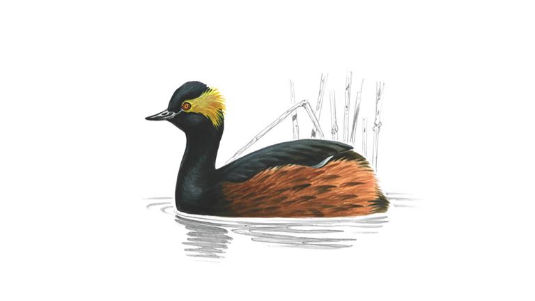 Black-necked grebe (summer plumage)