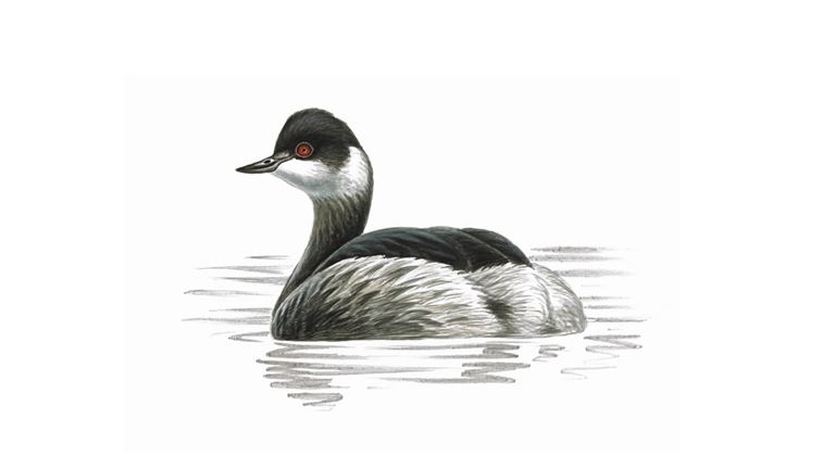 Black-necked grebe (winter plumage)