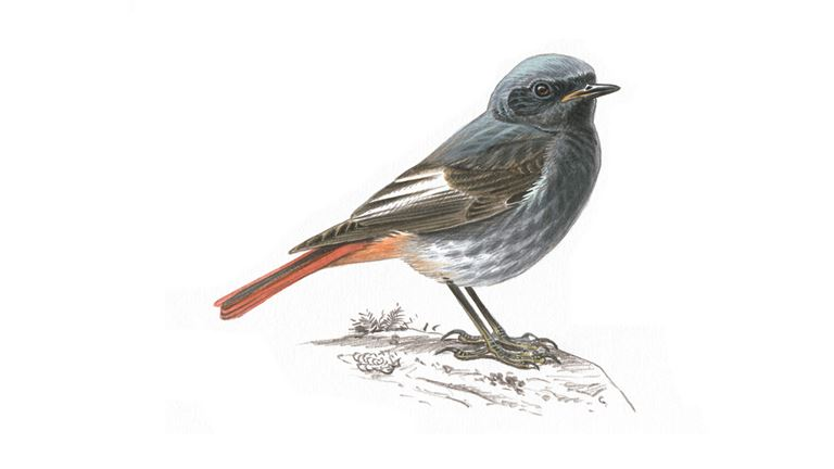Black Redstart Bird Facts | Phoenicurus Ochruros - The RSPB