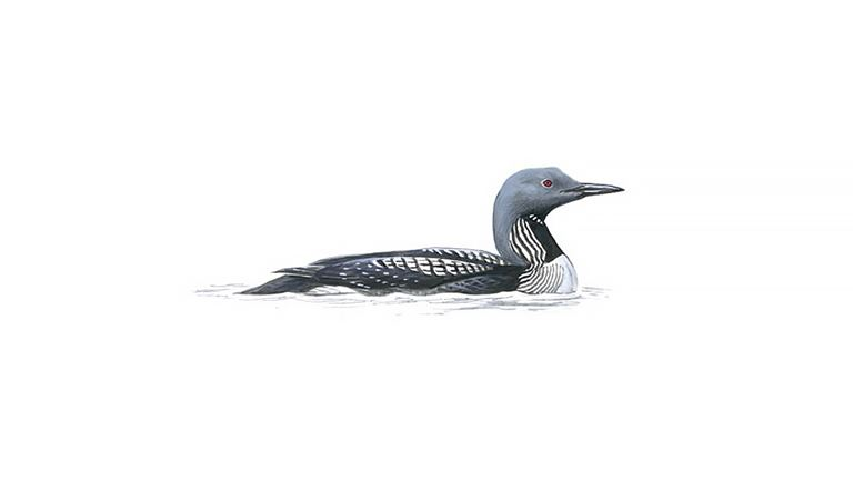 Black-throated diver (summer plumage)