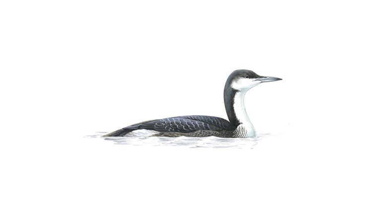 Black-throated diver (winter)