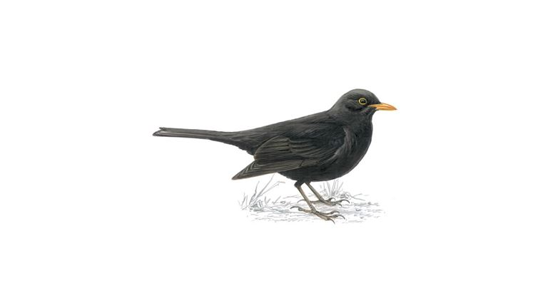 Blackbird (adult male)