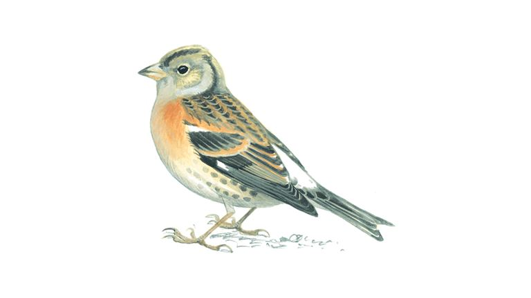 Brambling (female winter plumage)