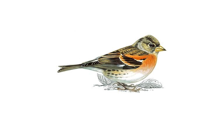 Brambling (male breeding plumage)