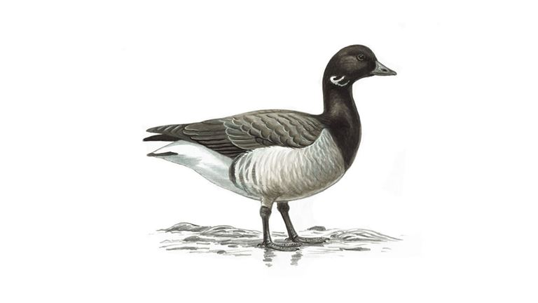 Brent goose (pale bellied)