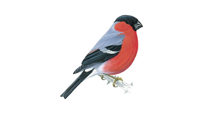 Bullfinch (adult male)