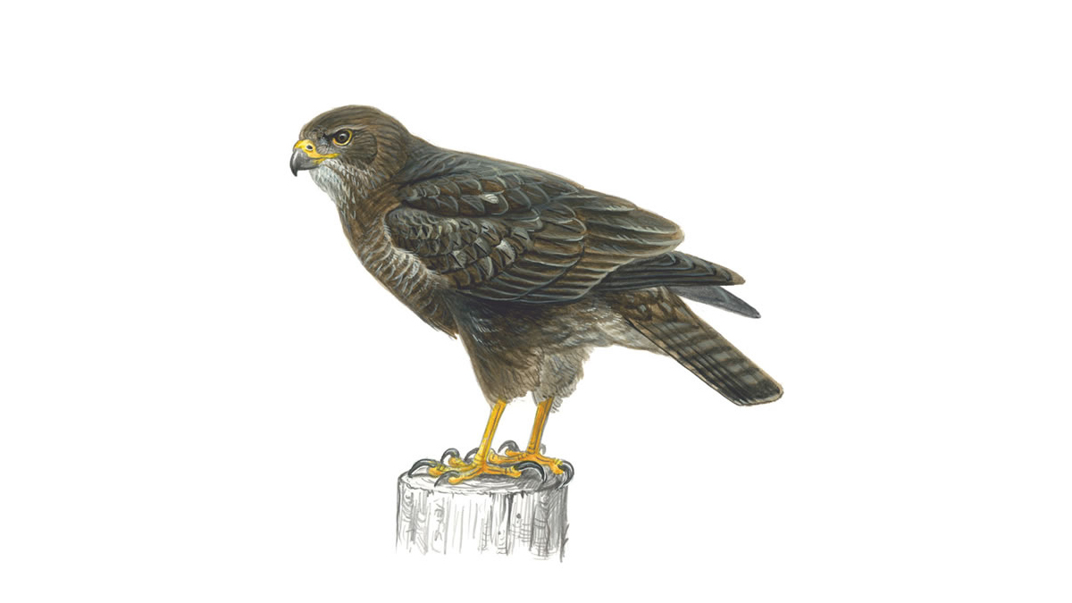 Buzzard Bird Facts Buteo Buteo The Rspb
