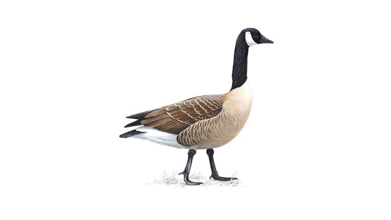 canada goose facts branta canadensis the rspb