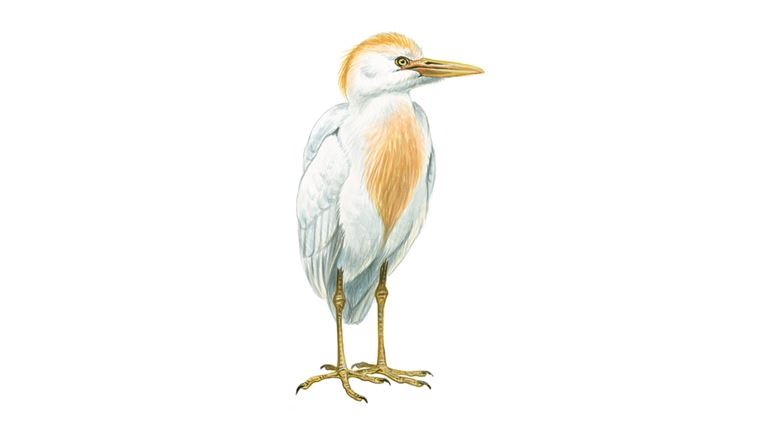Cattle egret (summer plumage)