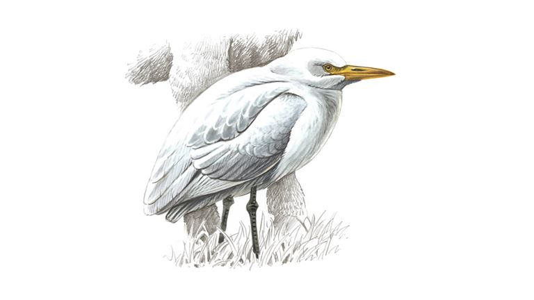 Cattle egret (winter plumage)