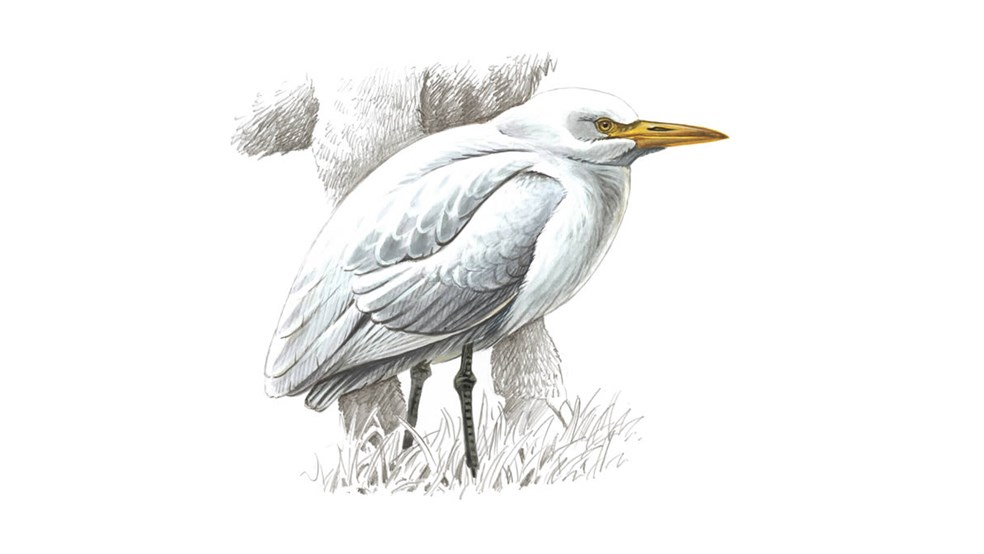 Cattle Egret Bird Facts Bubulcus Ibis The Rspb