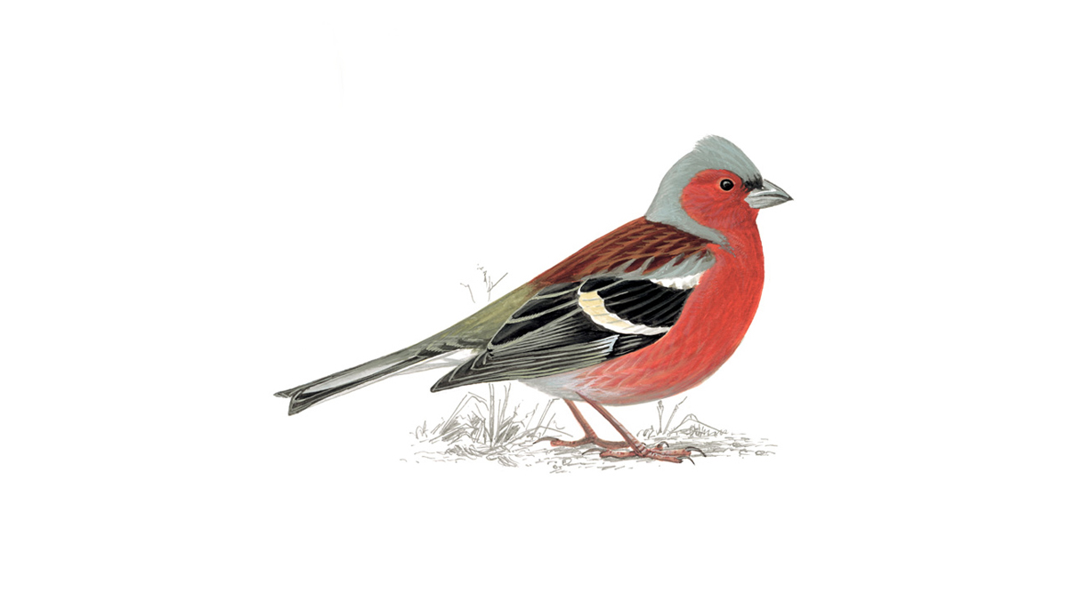 Image result for chaffinch