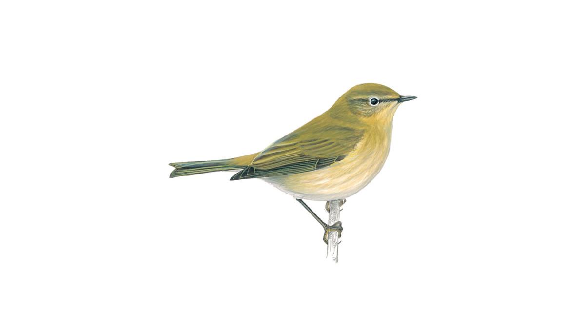 chiff chaff bird (phylloscopus collybita)