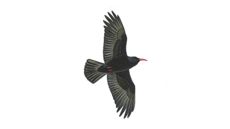 Chough in flight