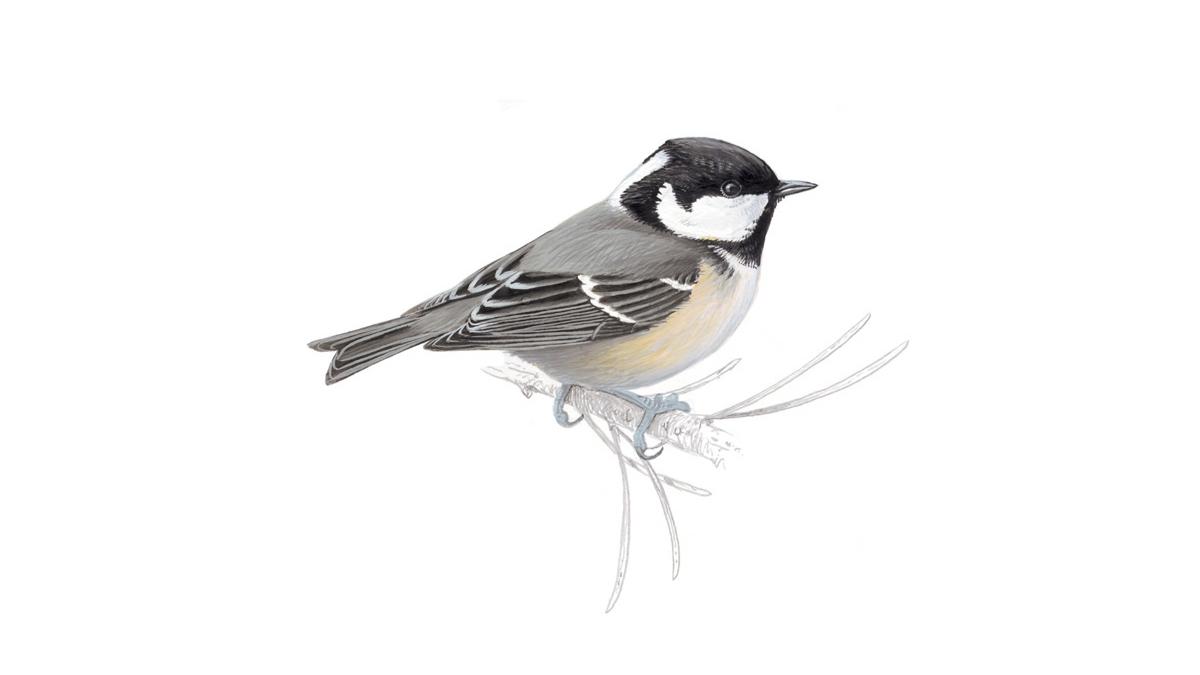 Black tit bird