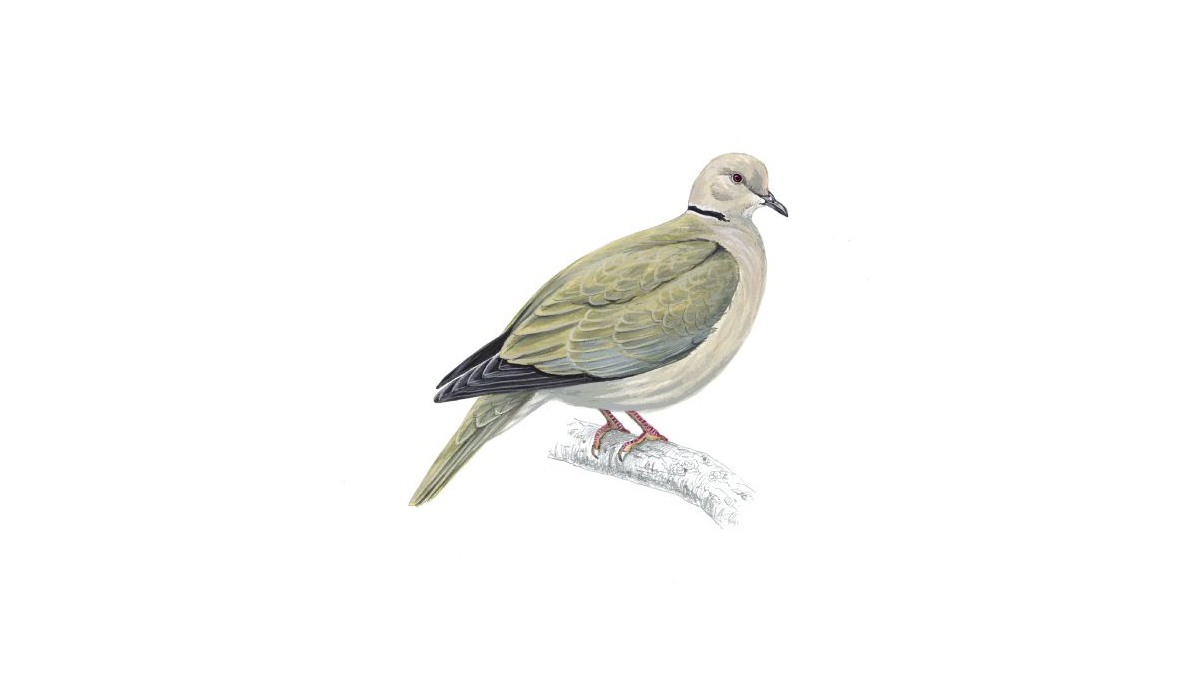 Collared Dove Bird Facts Streptopelia Decaocto The RSPB