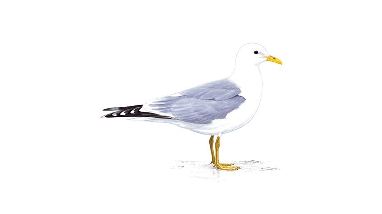 Common gull (summer plumage)