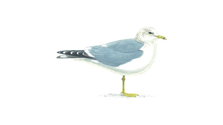 Common gull (winter plumage)