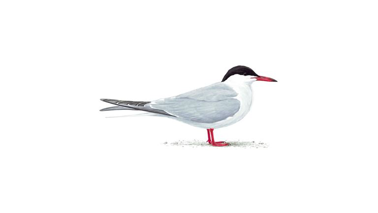 Common tern (adult summer plumage)