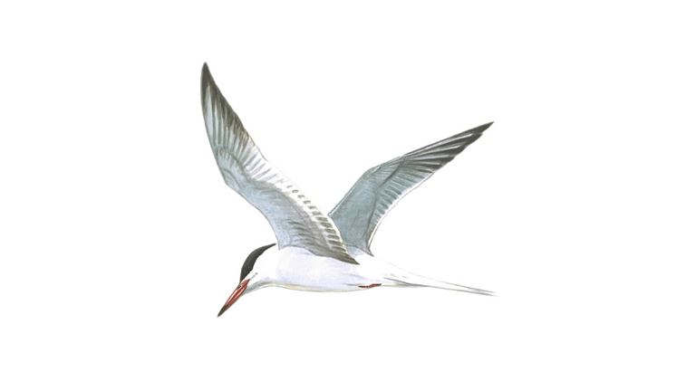 Common tern (adult in flight)