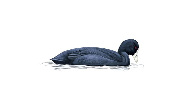 Coot (adult)