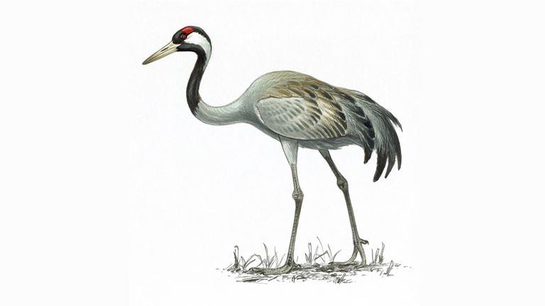 Crane Pictures crane bird facts | grus grus - the rspb