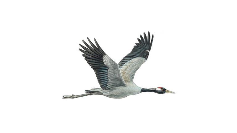 Crane Bird Facts   Grus Grus - The RSPB