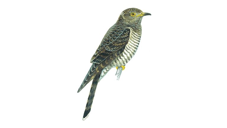 What does a cuckoo look like 10