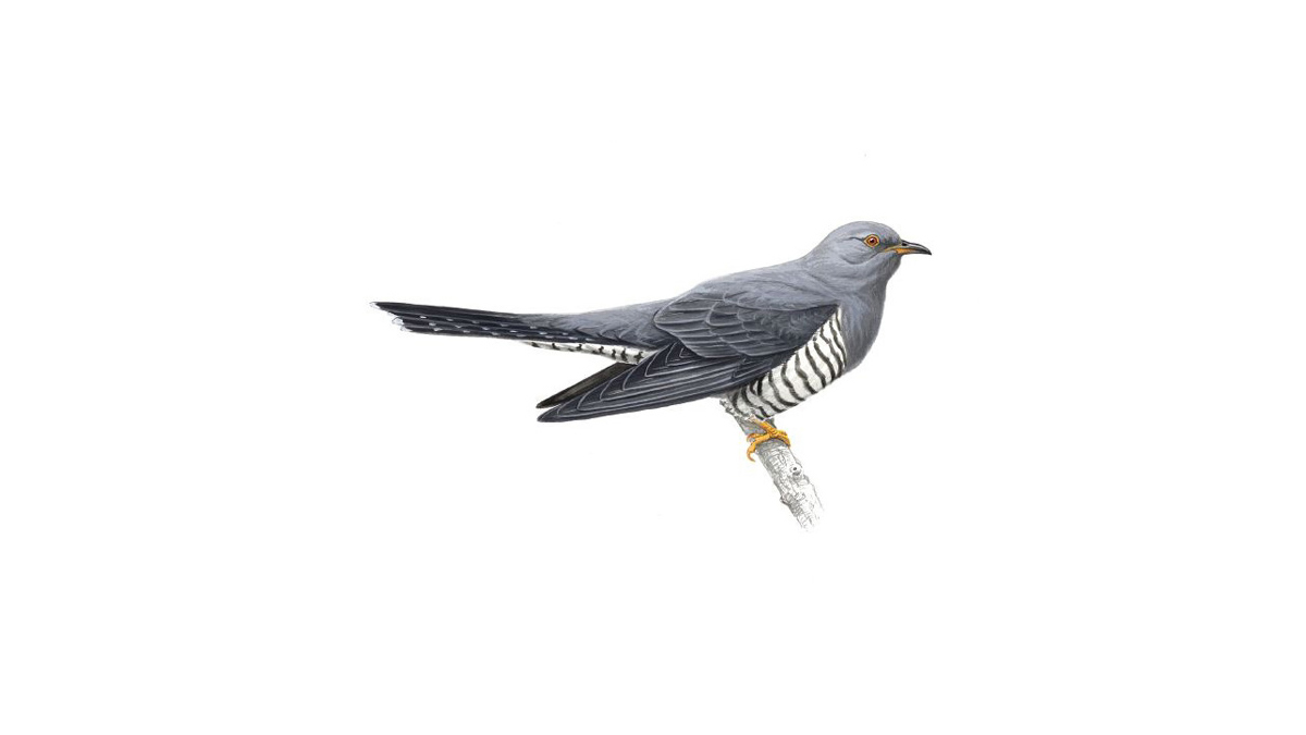 cuckoo bird facts cuculus canorus the rspb