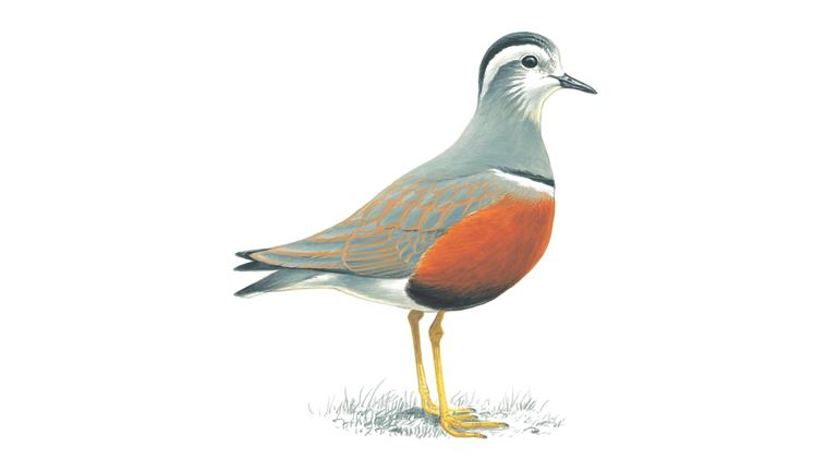 Dotterel (adult)