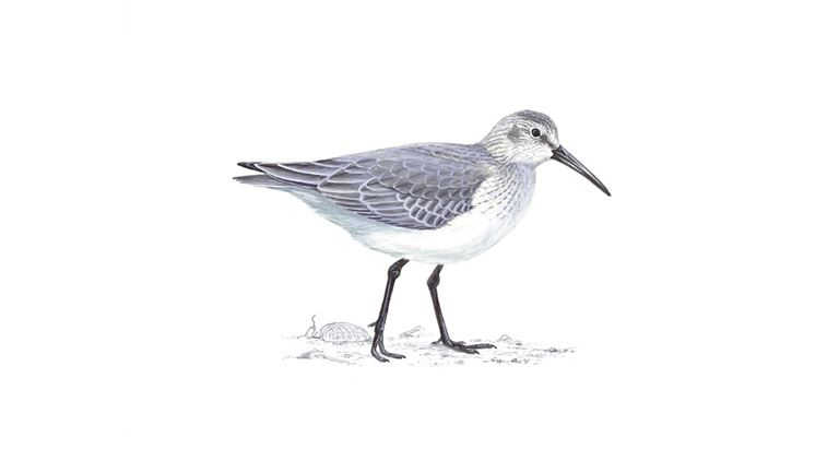 Dunlin (winter plumage)