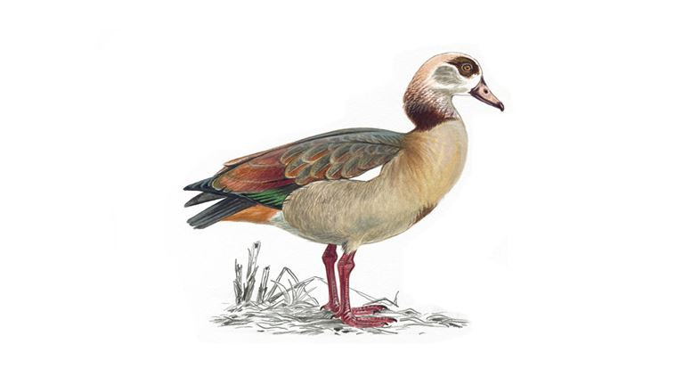 Egyptian goose (adult)