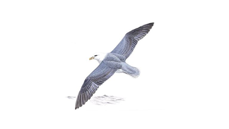Fulmar Bird Facts Fulmarus Glacialis The Rspb