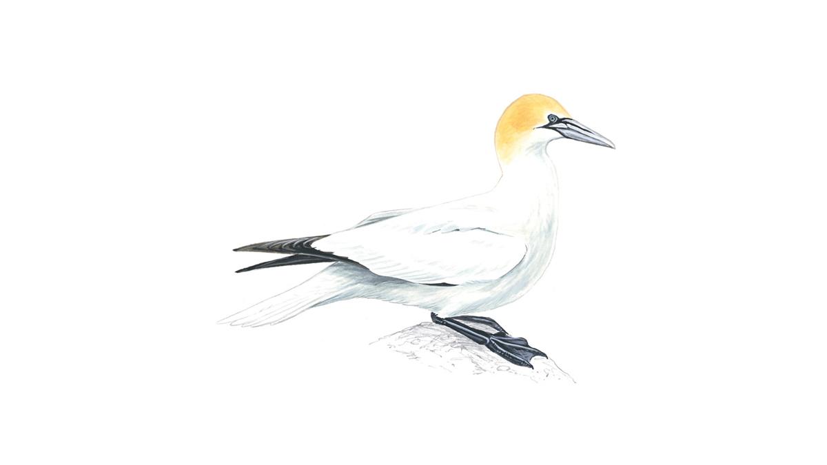 Gannet Bird Facts Morus Bassanus The Rspb Bald Eagle In Nest Photos Diagrams Topos Summitpost