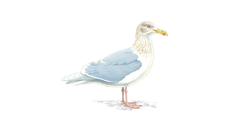 Glaucous gull (adult/winter plumage)